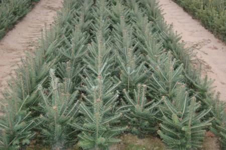 Tree: Canaan Fir Name: Abies intermedii - Seedlings & Transplants Bosch's Countryview Nursery, Inc