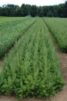 Christmas Tree Hill Nursery
