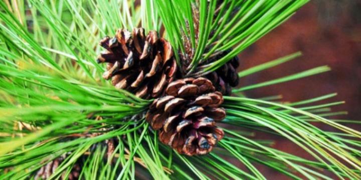 welcome-pine-needles