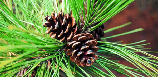 welcome-pine-needles